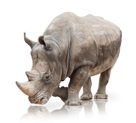 animali: Ritratto di un rinoceronte su sfondo bianco