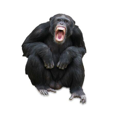 Portrait Of A Orangutan On White Background Stock Photo - 14438843