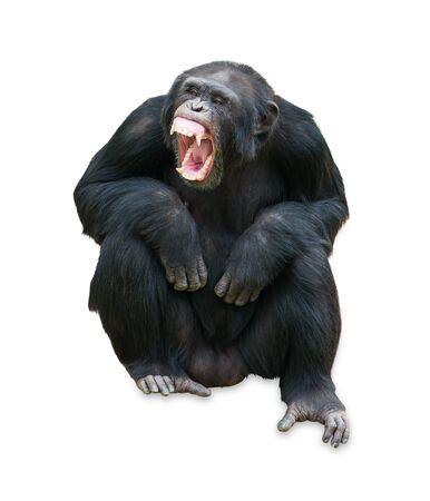 orangutan: Portrait Of A Orangutan On White Background