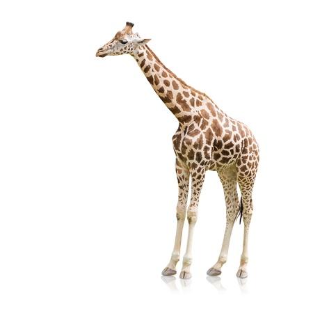 Portrait Of A Giraffe On White Background photo