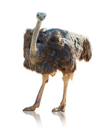 Portrait Of An Ostrich On White Background photo
