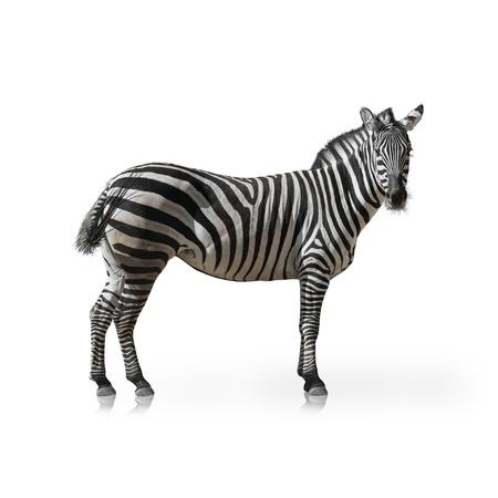 animal species: Portrait Of A Zebra On White Background