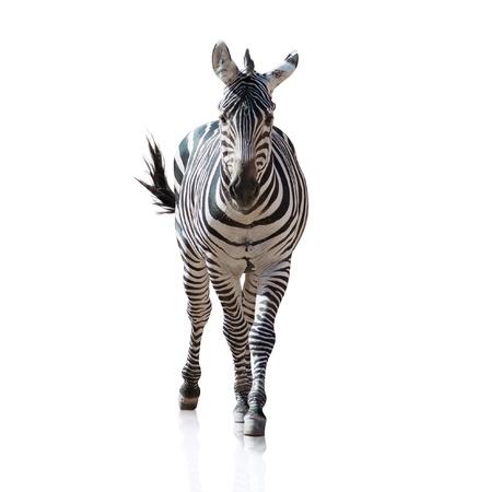 Portrait Of A Zebra auf weißem Hintergrund Standard-Bild