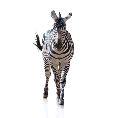 Portrait Of A Zebra On White Background photo