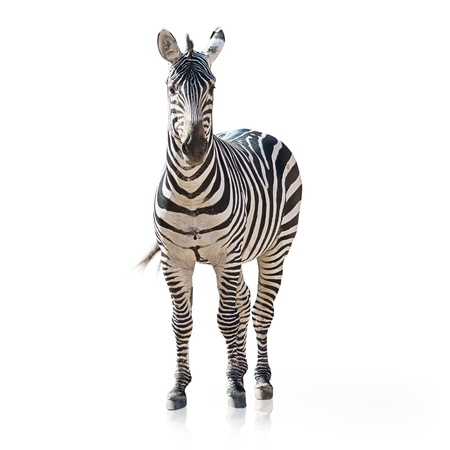 animals hunting: Portrait Of A Zebra On White Background