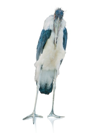 Portrait Of A Stork On White Background Stock Photo - 14438821
