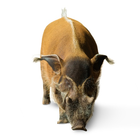 Portrait Of A Pig On A White Background photo