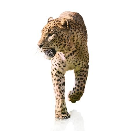 leopards: Portrait Of A Leopard Walking On White Background