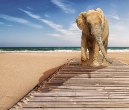 Young Elephant walking at the beach photo