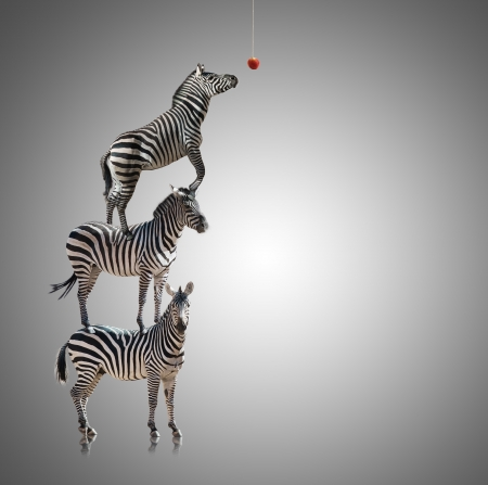 burchell: Stack Of Zebra Reaching To Eat Apple On Grey Background