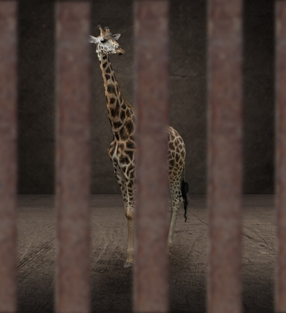 Giraffe Behind The Bar Stock Photo - 15392682