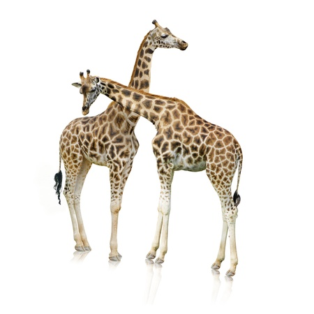 Two Giraffes Standing Together On White Background photo