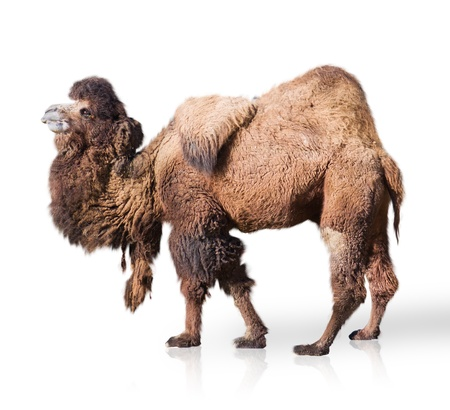 Portrait Of Camel Isolated On White Background photo