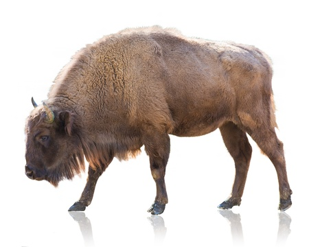 Portrait Of Bison Isolated On White Background Фото со стока
