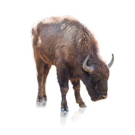 Portrait Of Bison Isolated On White Background photo