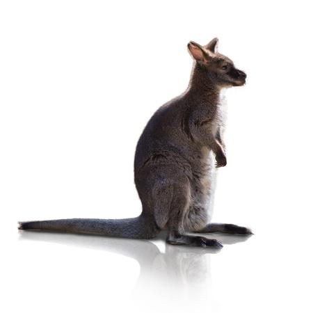 Portrait Of Kangaroo Isolated On White Background photo