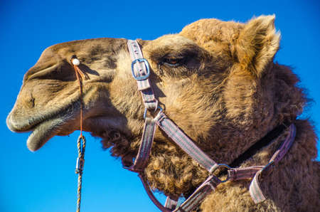australian outback: Profile of a harnessed Camel in the Australian outback Stock Photo