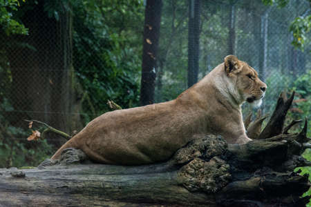 lion tail: Lioness laying on a fallen tree, full body profile