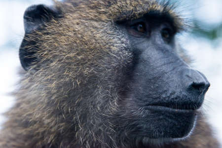 Closeup portrait of an inquisitive baboon looking off-camera