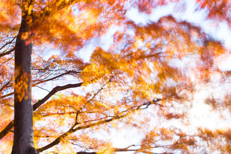 Fiery orange and red leaves of Autumn on a tree are moving with the cold wind as it blows through a park in Tokyo, Japan. Stock Photo