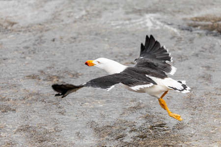 A large Pacific Gull, Larus pacificus, takes flight with wings outspread from a wet and rocky shoreline in Victoria, Australia. The species is less common in the south east due to increased competition from invasive gull species.