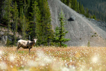 A large female Rocky Mountain Bighorn Sheep in a wildflower meadow pauses and looks towards the photographer between grazing on the vegetation and foliage, in Jasper National Park, Canada.