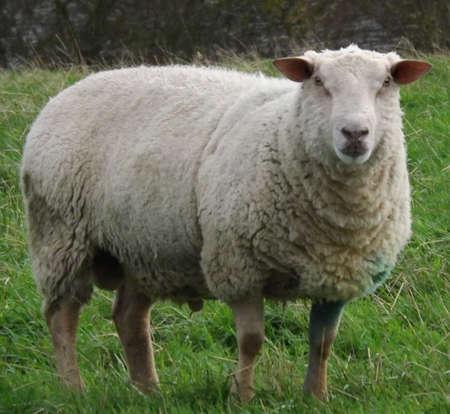 guernsey: Guernsey Sheep