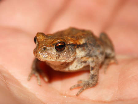 Close-up of a little water frog sitting on a hand photo