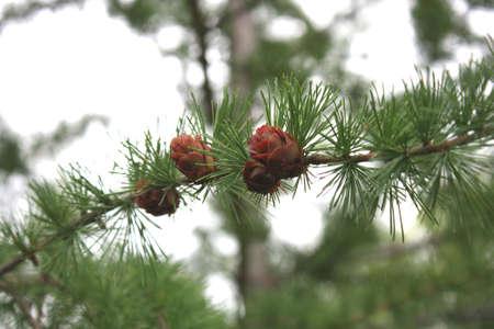Cones on tree Stock Photo - 7763229