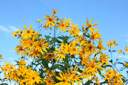 Many beautiful yellow colors against the blue sky in the summer Stock Photo - 7879946