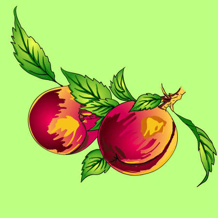Two peaches with leaves on a branch on a light background Vector