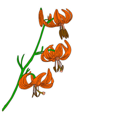 vector lily flower isolated on white background Stock Vector - 9264336