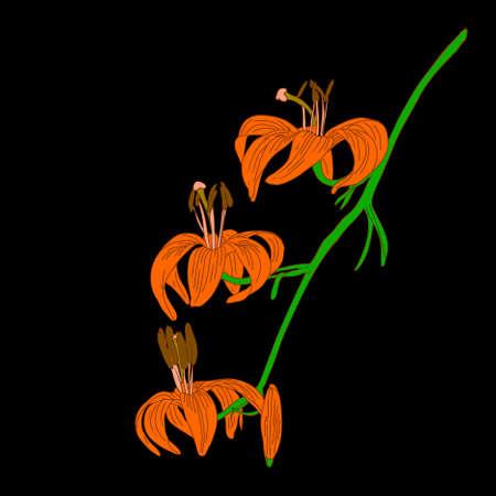 abloom: flor de lirio de vector aislado en fondo negro