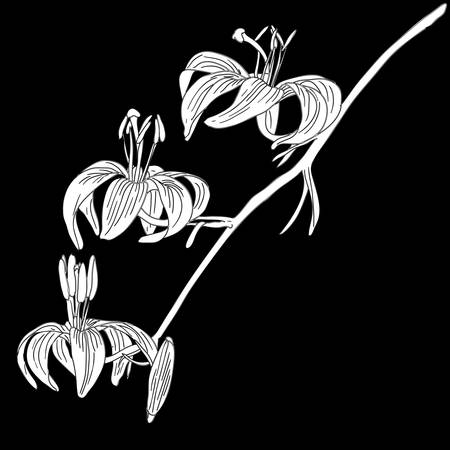 vector lily flower isolated on black background Vector