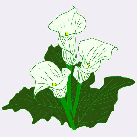 Background with White Callas Vector