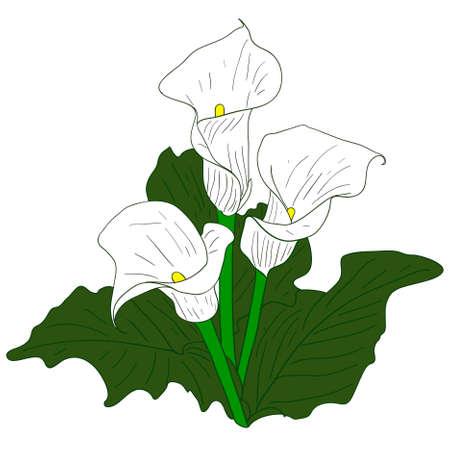 calas blancas: Fondo con Callas blanco Vectores