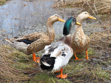 Three beautiful ducks on the lake photo