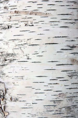 birch bark: bark of birch in the cracks texture