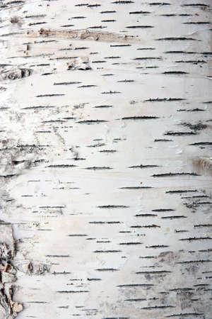 foret de bouleaux: �corce de bouleau dans la texture de fissures
