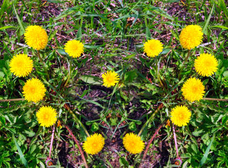 bloomy: heart made of yellow dandelions on green grass Stock Photo