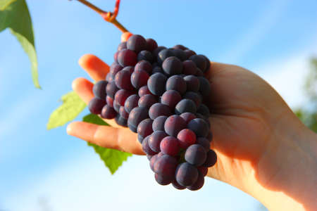 hand holding grape clusters against blue sky photo
