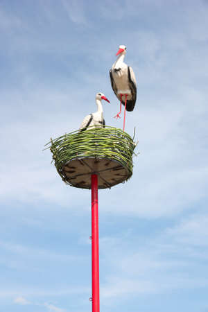 couple of white storks in nest photo