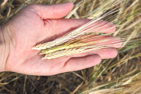 Wheat and hands photo