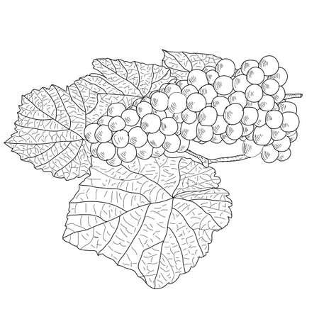 Zusammenfassung Grape mit Blättern (Vector) Standard-Bild - 10908236
