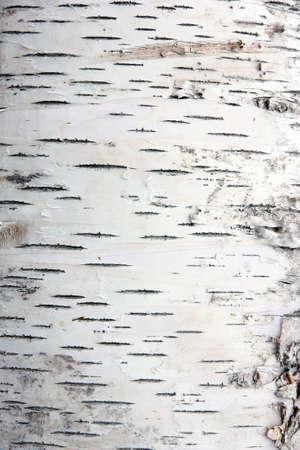 foret de bouleaux: �corce de bouleau dans la texture des fissures