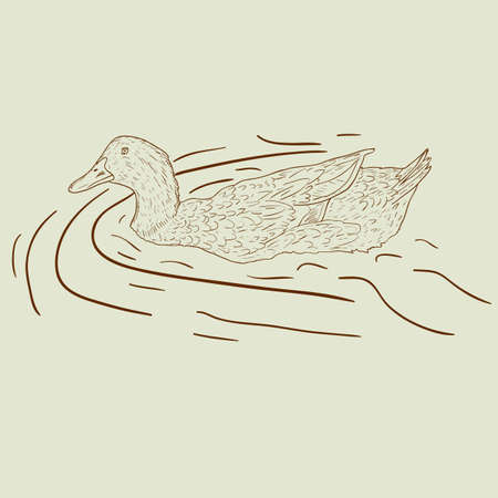 Wild duck. Hand-painted vector illustration. Vector