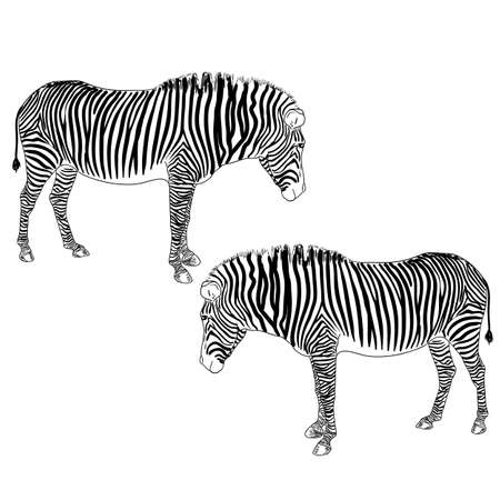 Two zebras. Vector illustration. Vector