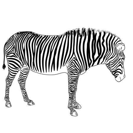 One zebra. Vector illustration Vector