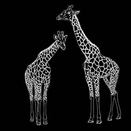 camelopardalis: Two giraffes. Vector illustration.