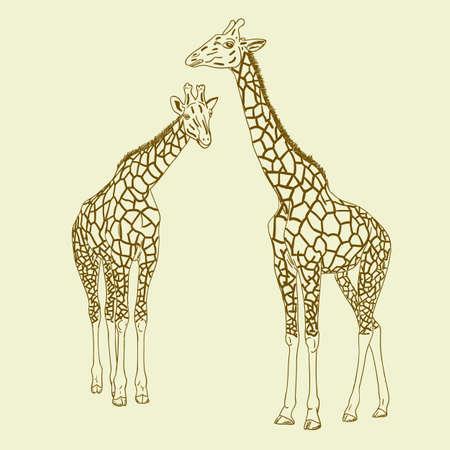 camelopardalis: Two giraffes. Vector illustration.